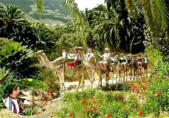 Camel safari through Fataga palm forest
