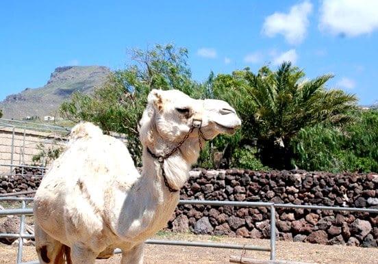 White camel in Tenerife