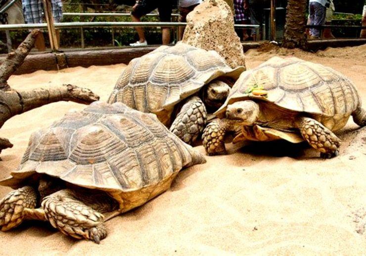 Giant turtles at Loro Parque Puerto de la Cruz