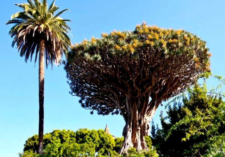 Drago tree in Tenerife