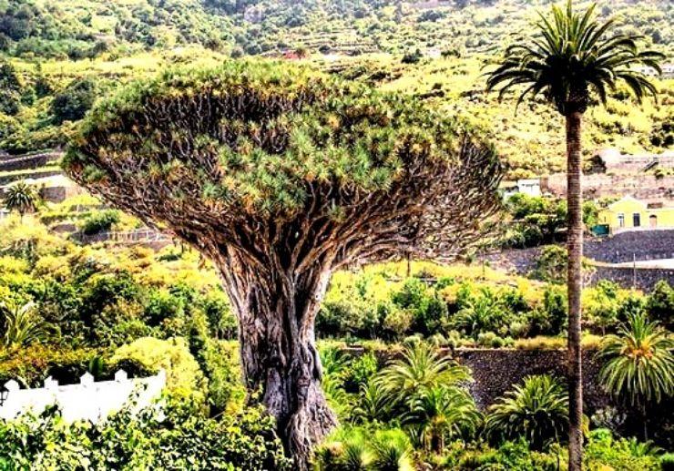 Massive drago tree in Icod de los Vinos