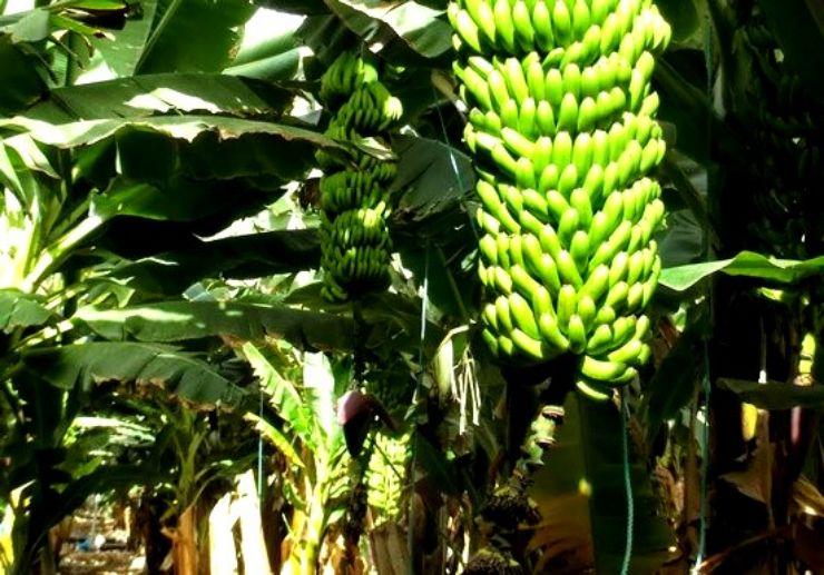 Bananas at Finca Las Margaritas Tenerife
