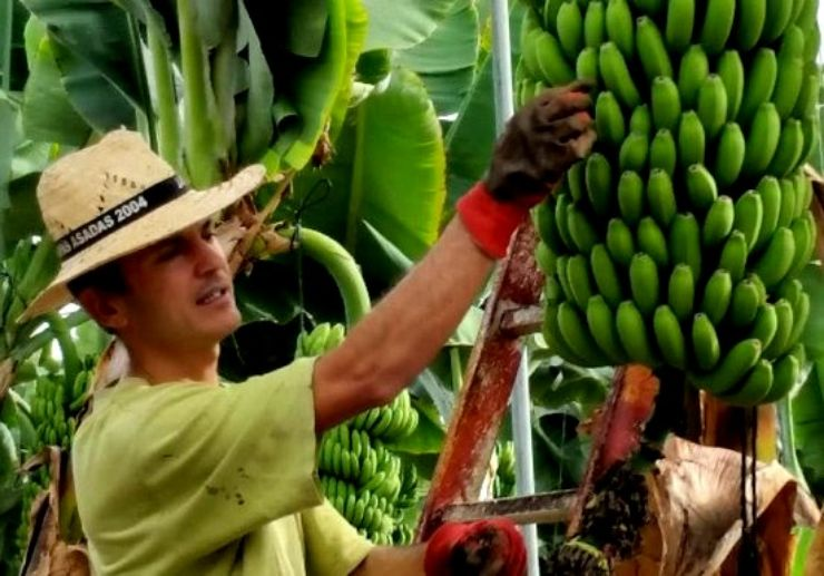 Bananas at Finca Las Margaritas