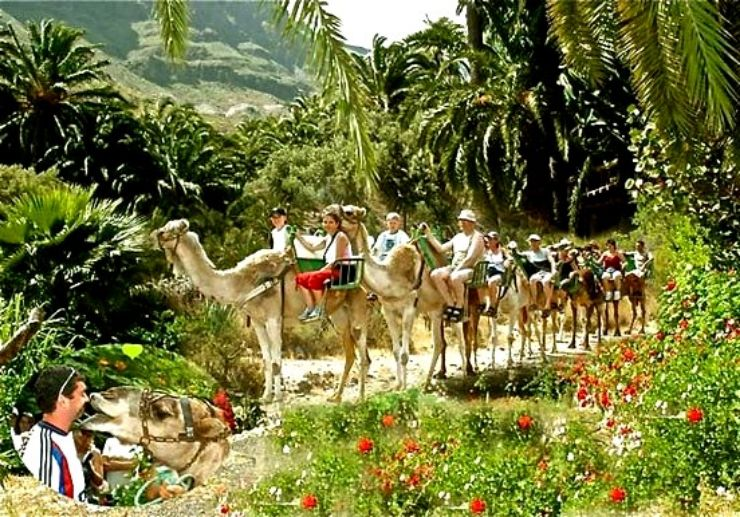 Camel safari through Fataga palm forest