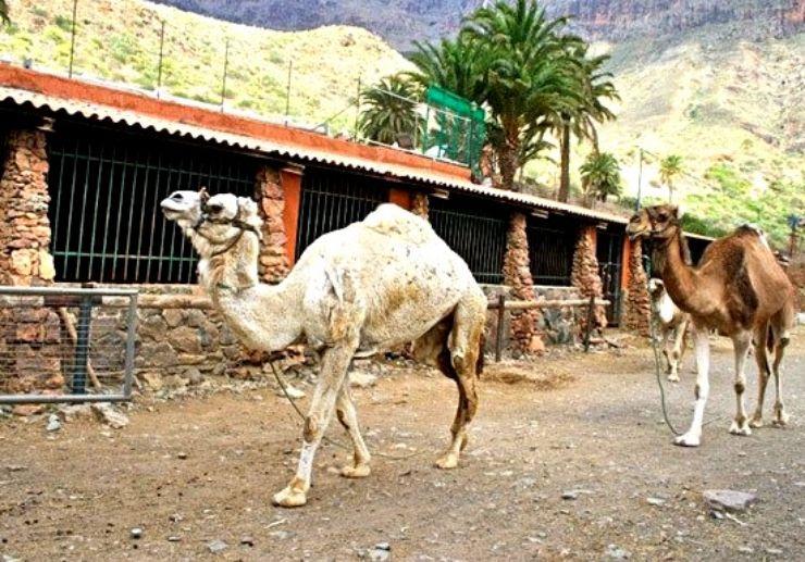 Camel Safari tour Gran Canaria