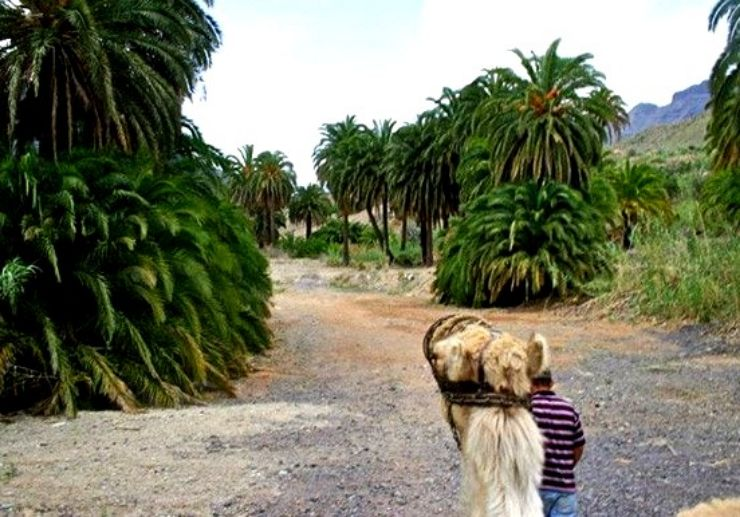 Camel safari tour through Oasis of Thousand Palms