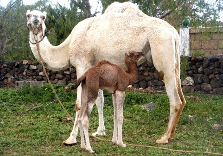 Baby and mother camel at Camel Park in Tenerife