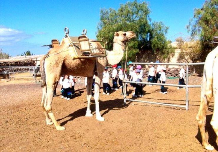 Camel safari trip Tenerife