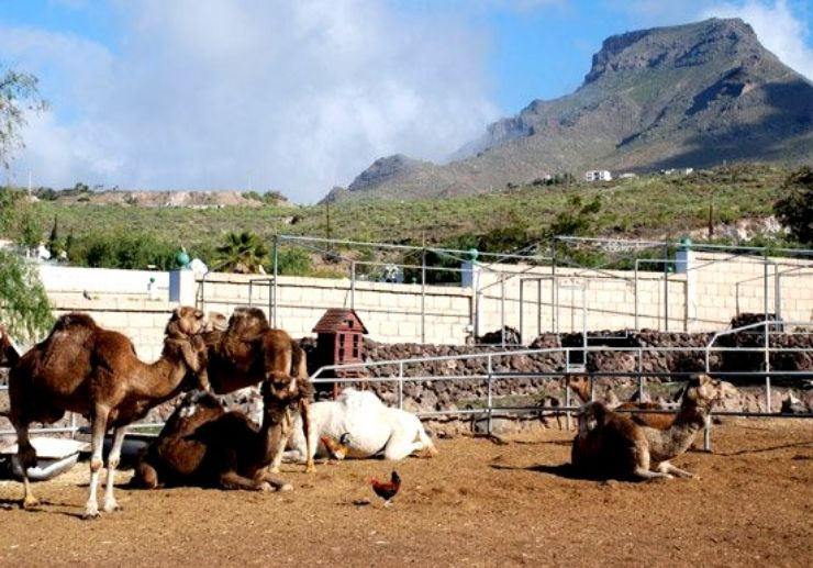 Ride camel in Tenerife
