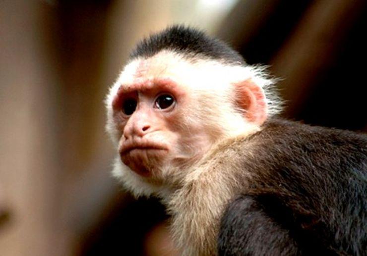 Capuchin monkey in Jungle Park Tenerife