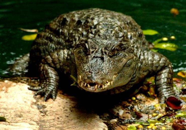 Crocodiles in Jungle Park Tenerife