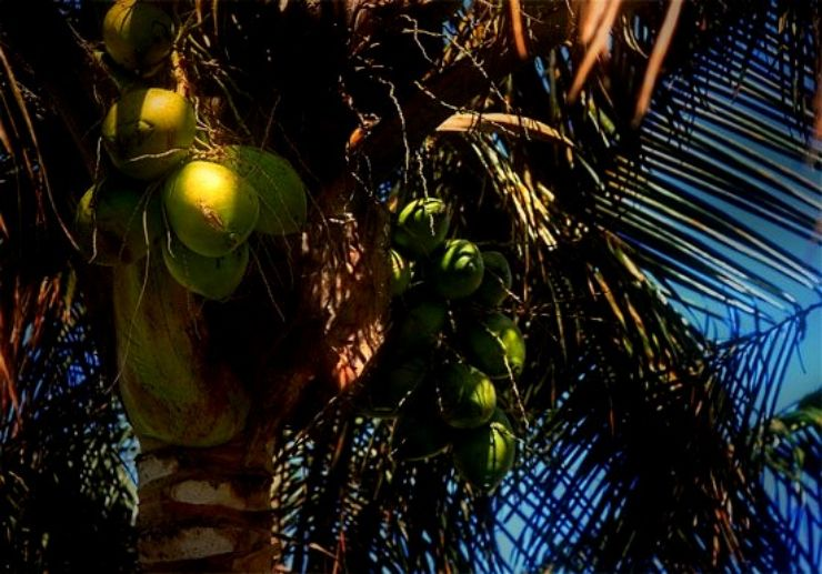 Coconuts at Palmetum in Tenerife