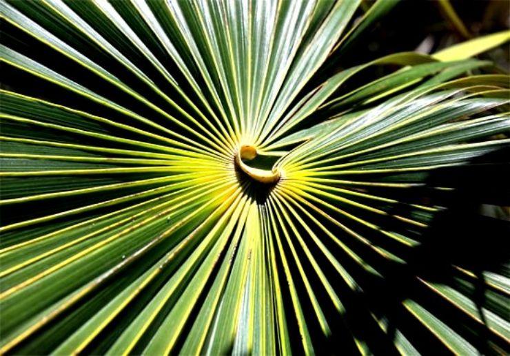 Palm leaves pattern at Palmetum Botanical Garden