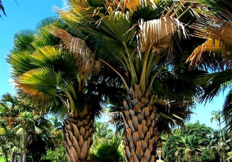 Palm trees at Tenerife Palmetum Botanical Garden