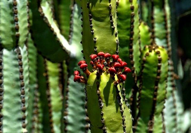 Cactus at botanical garden of Pirámides de Güímar