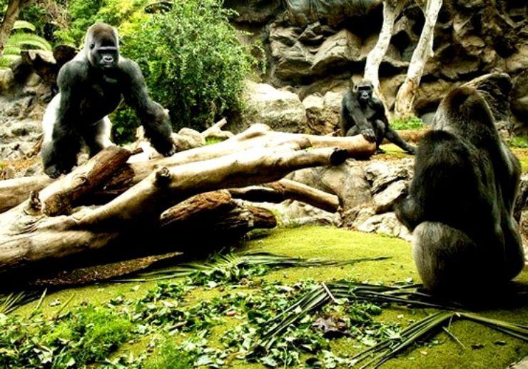 Gorillas in Loro Park Puerto de la Cruz Tenerife