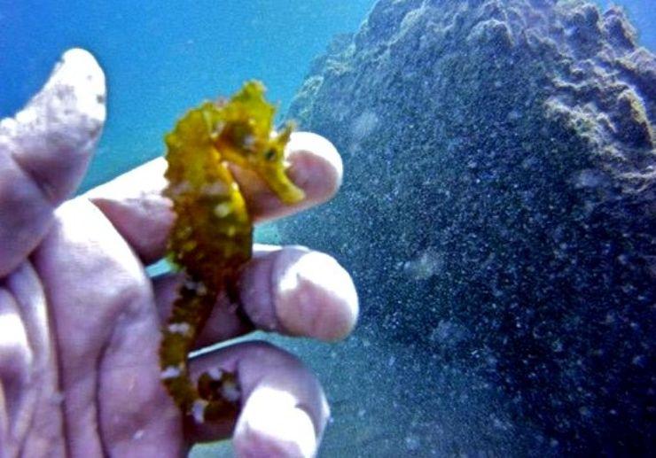 Seahorse in Lanzarote underwater