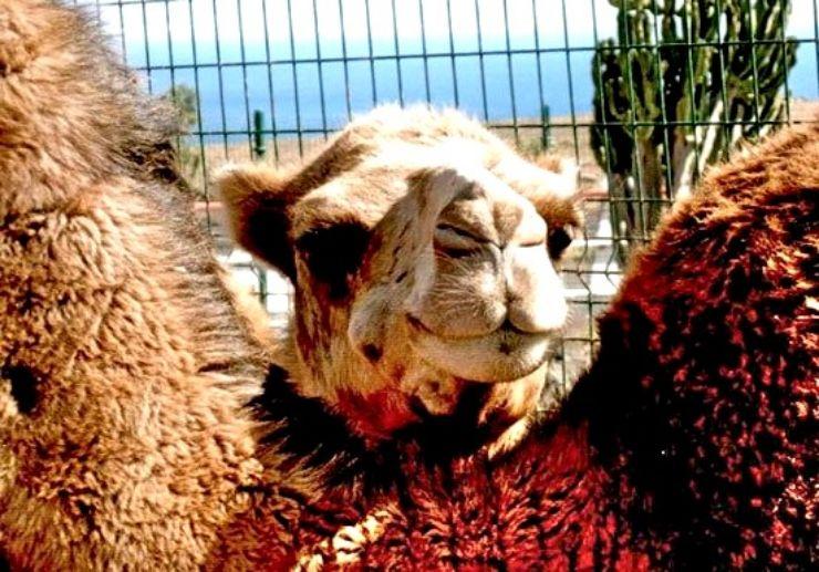 Ride a camel in Lanzarote