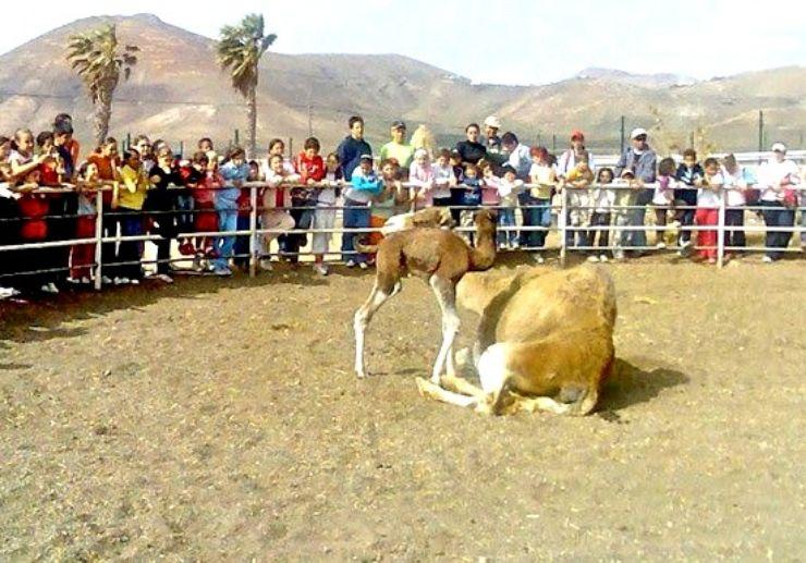 Lanzarote camel tour