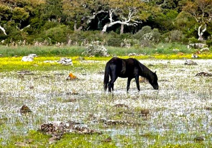 Horse near Su Pauli pond at Nuragic tour