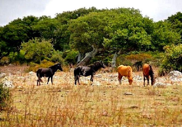 Horses near Su Pauli pond at Nuragic tour