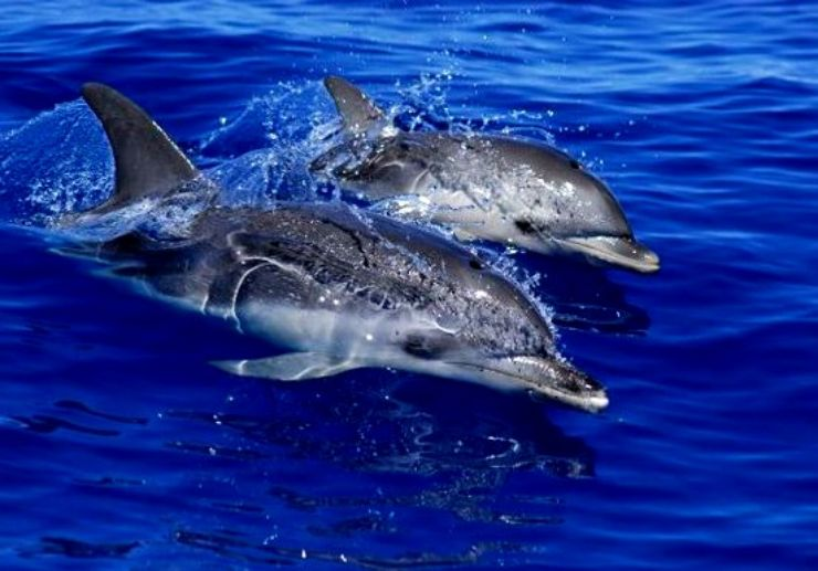 Watch dolphin off the coast of Los Gigantes