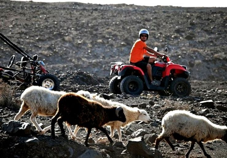 Goat in Jandia quad and buggy tour