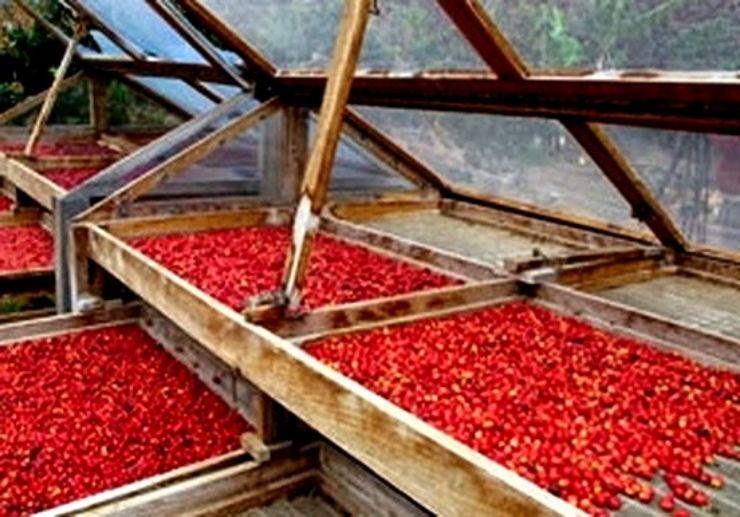 Coffee berries Gran Canaria northern tour