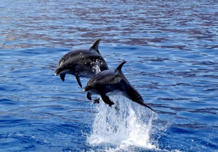 Dolphin watching Tenerife Los Gigantes