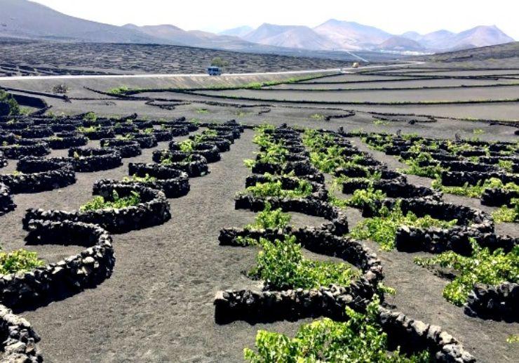 La Geria vine plantation