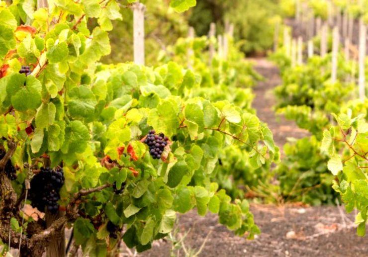 Vineyard visit Gran Canaria with wine tasting