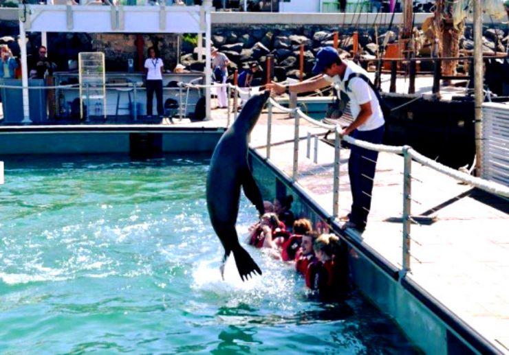 sea lion jumping Caleta de Fuste